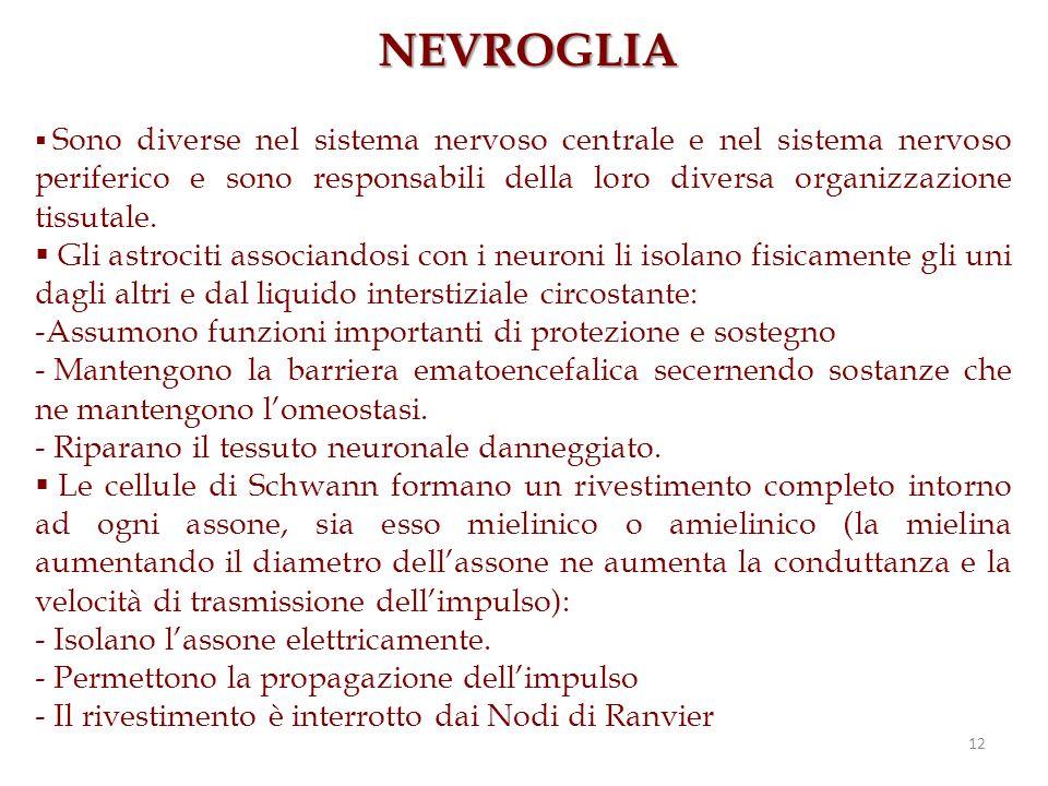 12 NEVROGLIA Sono diverse nel sistema nervoso centrale e nel sistema nervoso periferico e sono responsabili della loro diversa organizzazione tissutal