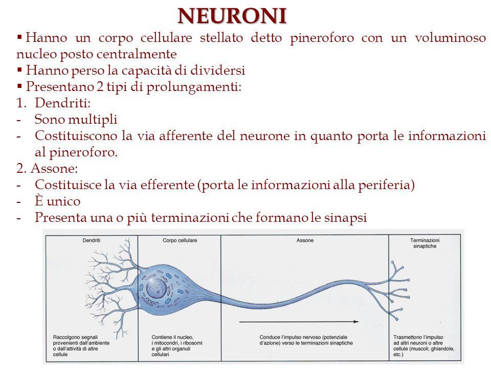NEURONI Hanno un corpo cellulare stellato detto pineroforo con un voluminoso nucleo posto centralmente Hanno perso la capacità di dividersi Presentano