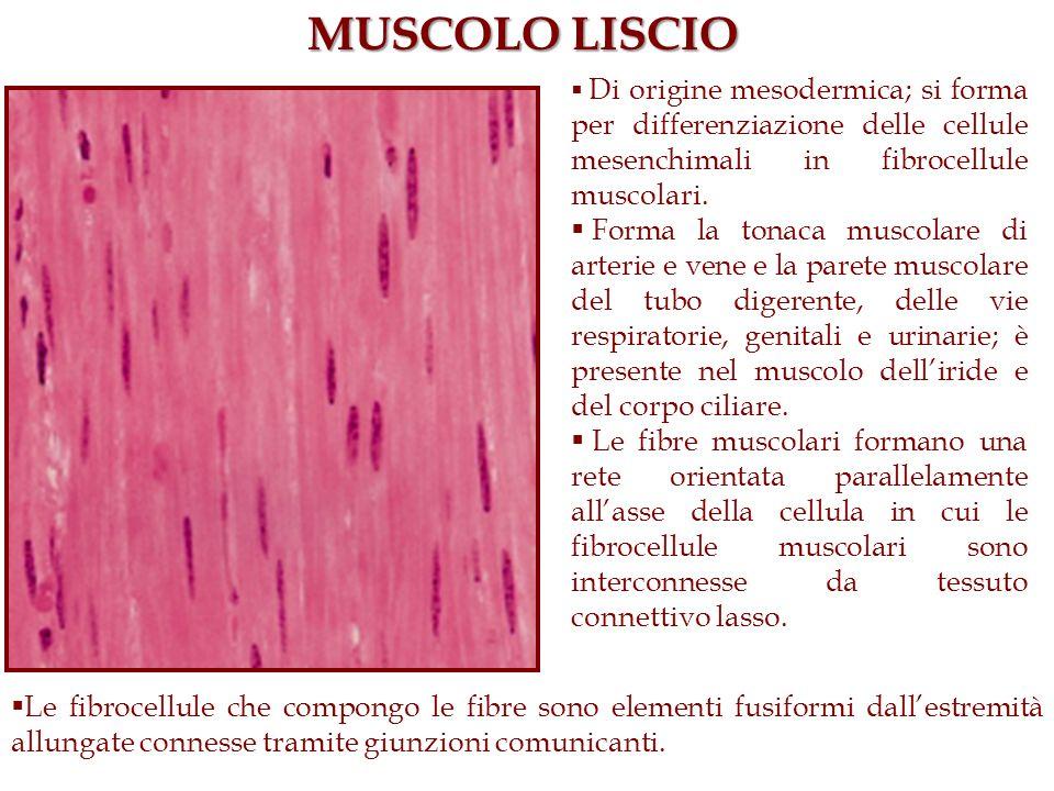 MUSCOLO LISCIO Di origine mesodermica; si forma per differenziazione delle cellule mesenchimali in fibrocellule muscolari. Forma la tonaca muscolare d