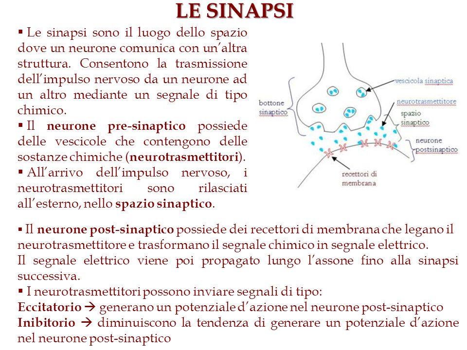 LE SINAPSI Le sinapsi sono il luogo dello spazio dove un neurone comunica con unaltra struttura. Consentono la trasmissione dellimpulso nervoso da un