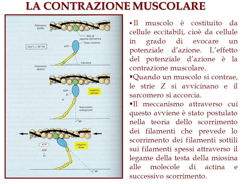 I neuroni possono essere classificati su 1.Base strutturale: in funzione del numero di processi che emergono dal corpo cellulare 2.Base funzionale.