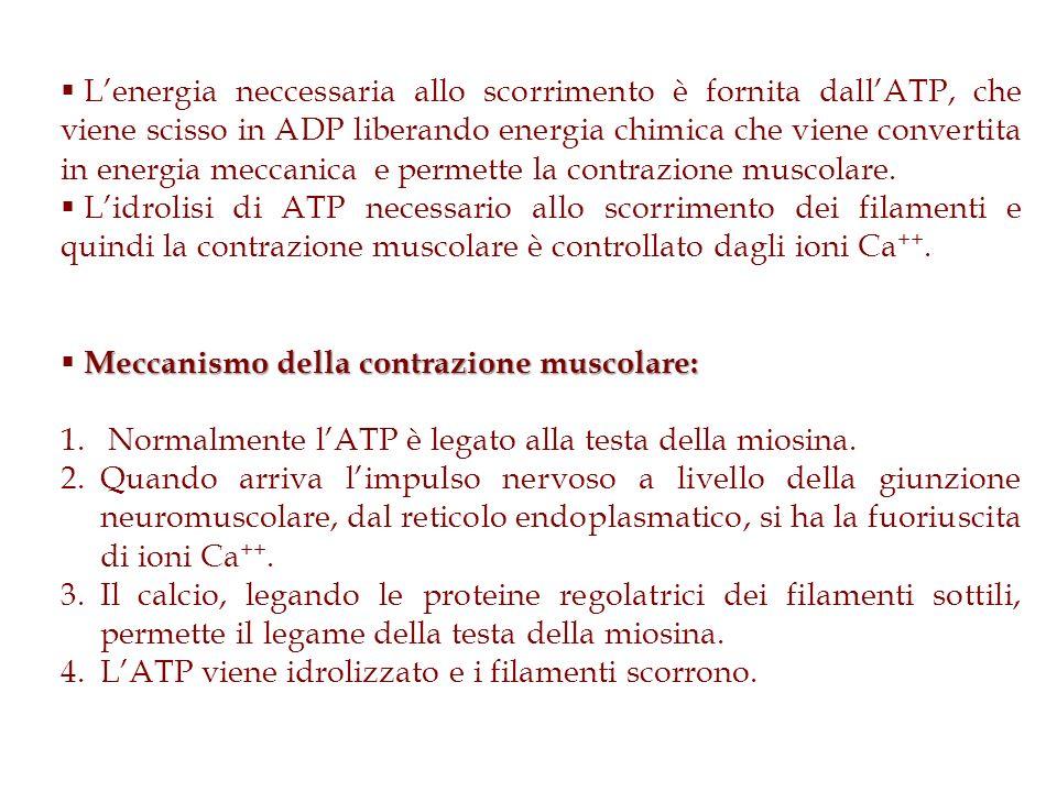 Lenergia neccessaria allo scorrimento è fornita dallATP, che viene scisso in ADP liberando energia chimica che viene convertita in energia meccanica e
