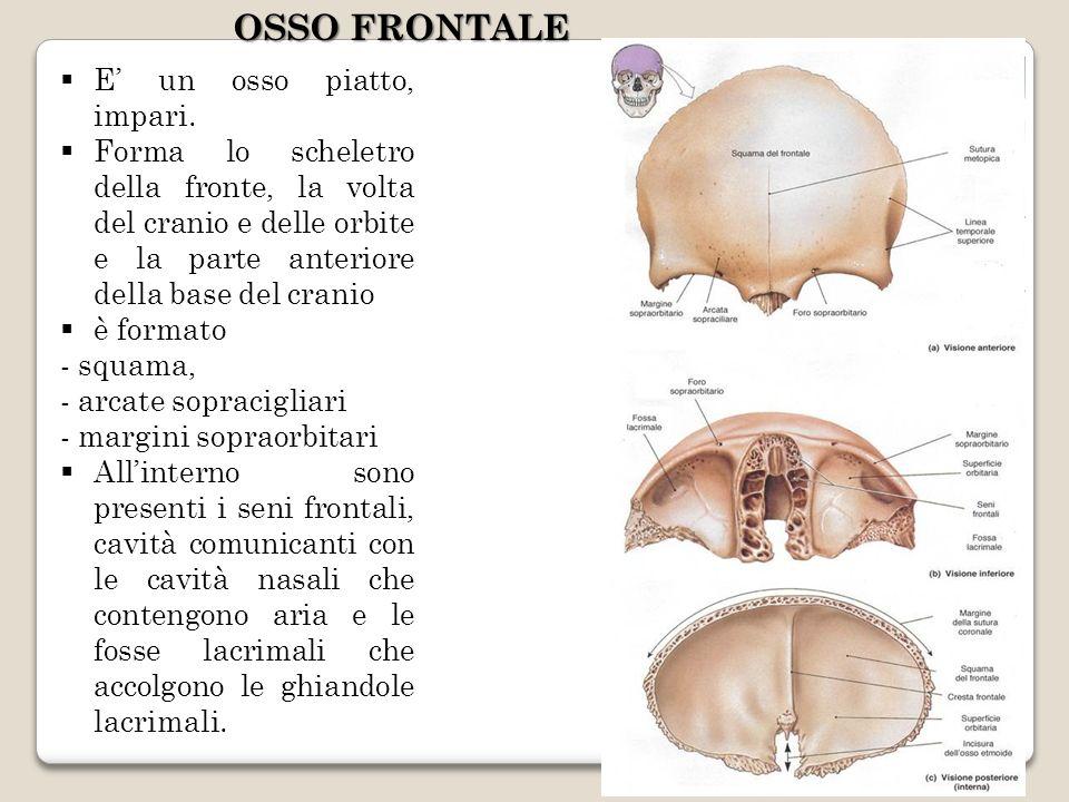E un osso piatto, impari. Forma lo scheletro della fronte, la volta del cranio e delle orbite e la parte anteriore della base del cranio è formato - s