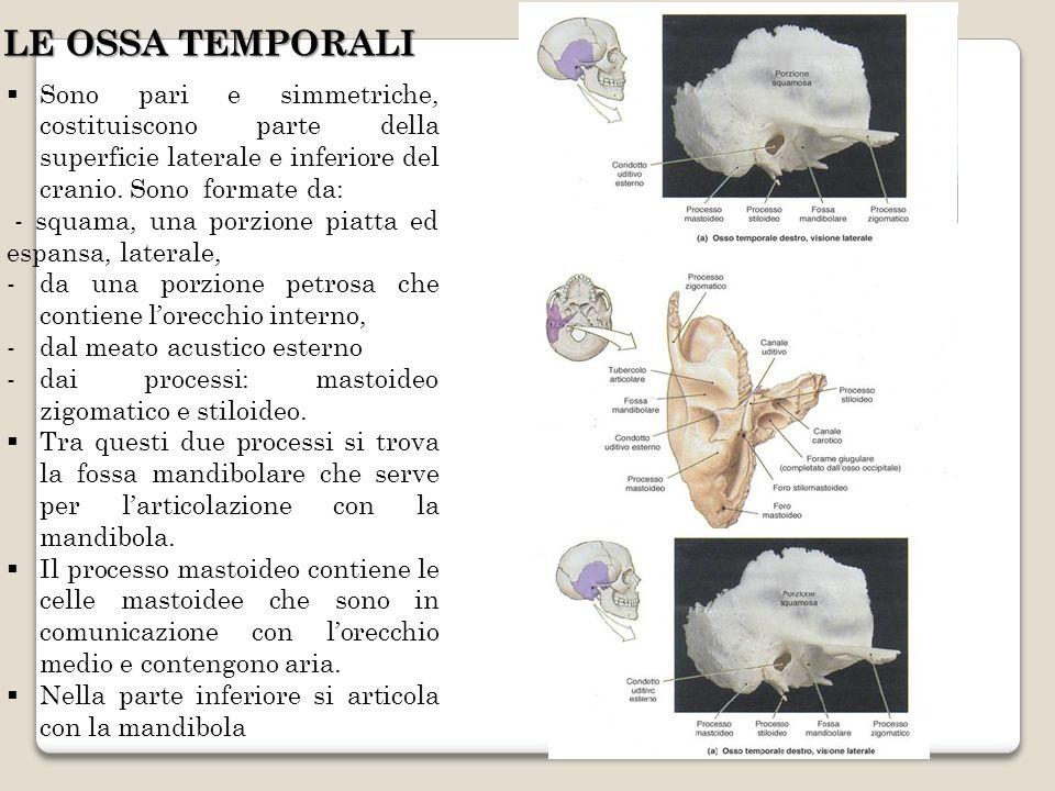 Sono pari e simmetriche, costituiscono parte della superficie laterale e inferiore del cranio. Sono formate da: - squama, una porzione piatta ed espan