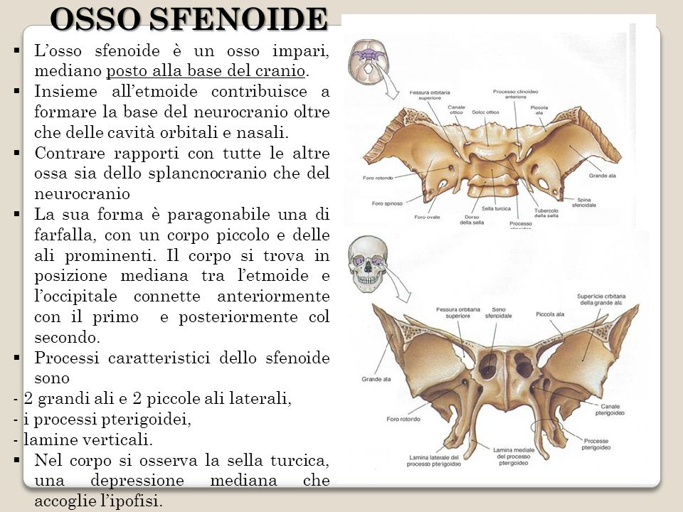 Losso sfenoide è un osso impari, mediano posto alla base del cranio. Insieme alletmoide contribuisce a formare la base del neurocranio oltre che delle