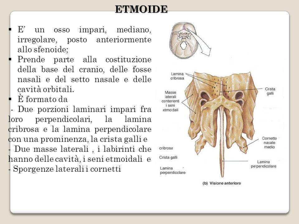 E un osso impari, mediano, irregolare, posto anteriormente allo sfenoide; Prende parte alla costituzione della base del cranio, delle fosse nasali e d