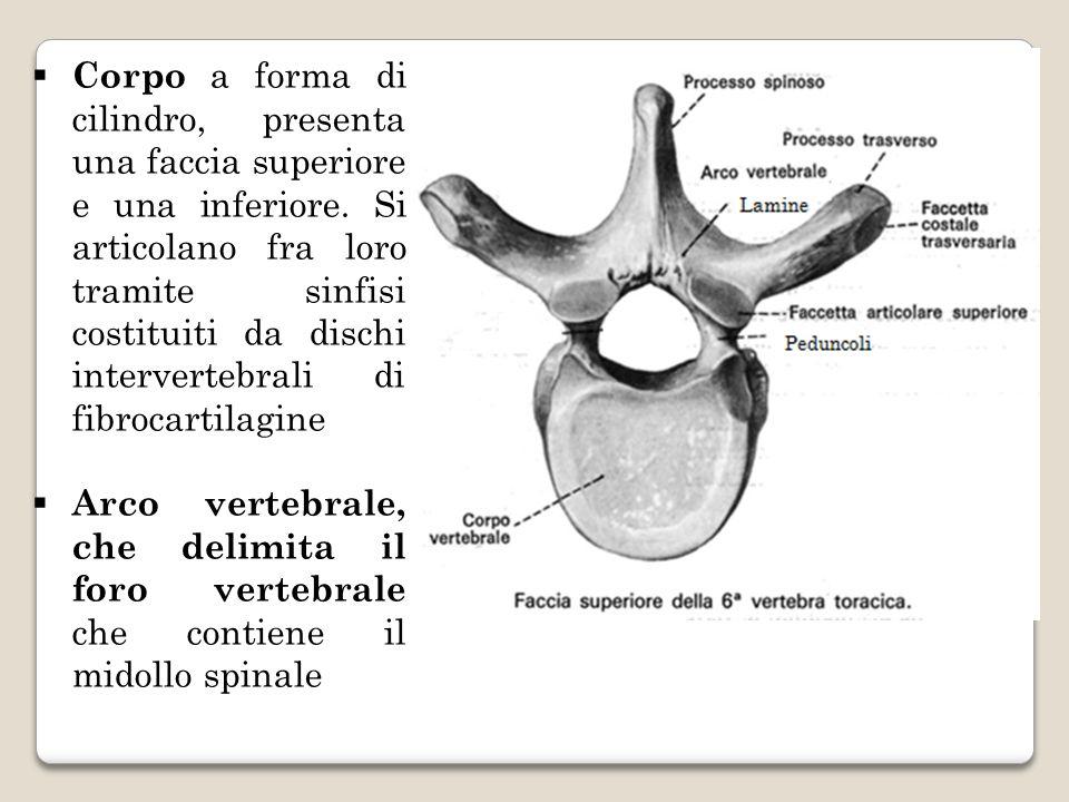 Corpo a forma di cilindro, presenta una faccia superiore e una inferiore. Si articolano fra loro tramite sinfisi costituiti da dischi intervertebrali