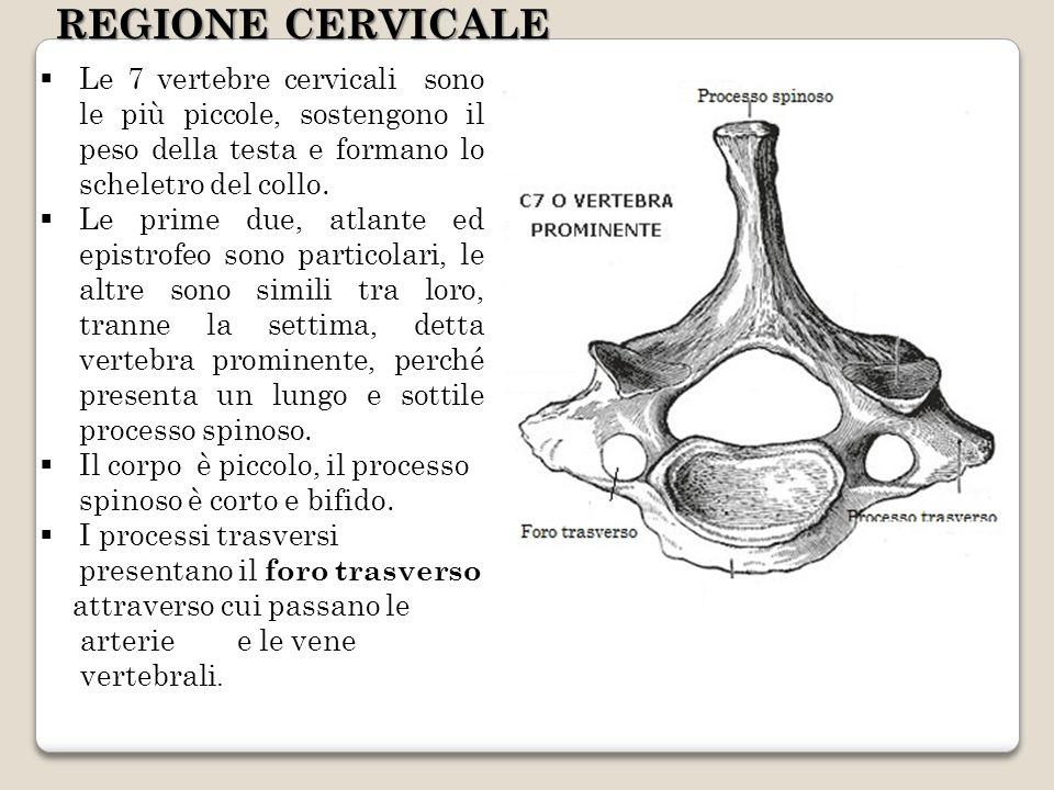 Le 7 vertebre cervicali sono le più piccole, sostengono il peso della testa e formano lo scheletro del collo. Le prime due, atlante ed epistrofeo sono