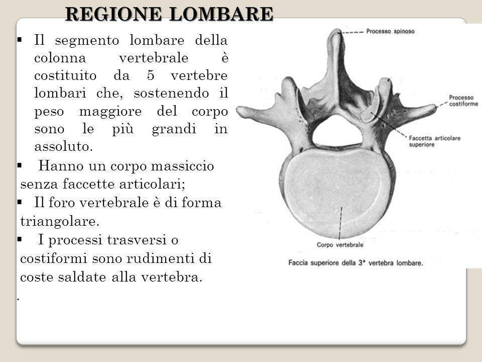 Il segmento lombare della colonna vertebrale è costituito da 5 vertebre lombari che, sostenendo il peso maggiore del corpo sono le più grandi in assol