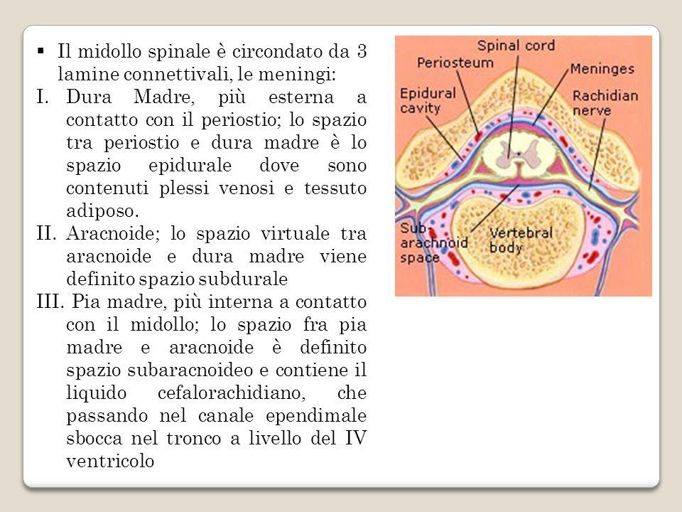 Il midollo spinale è circondato da 3 lamine connettivali, le meningi: I.Dura Madre, più esterna a contatto con il periostio; lo spazio tra periostio e