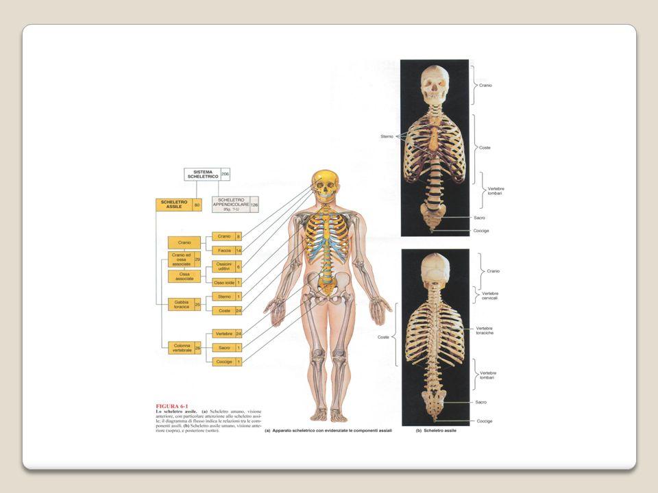 Le 7 vertebre cervicali sono le più piccole, sostengono il peso della testa e formano lo scheletro del collo.