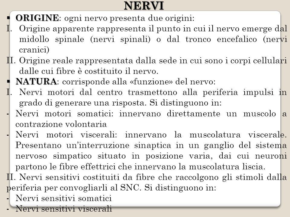 NERVI ORIGINE ORIGINE : ogni nervo presenta due origini: I.Origine apparente rappresenta il punto in cui il nervo emerge dal midollo spinale (nervi sp