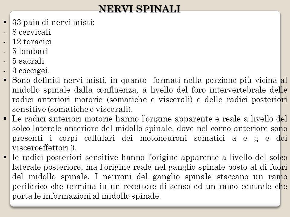 NERVI SPINALI 33 paia di nervi misti: -8 cervicali -12 toracici -5 lombari -5 sacrali -3 coccigei. Sono definiti nervi misti, in quanto formati nella