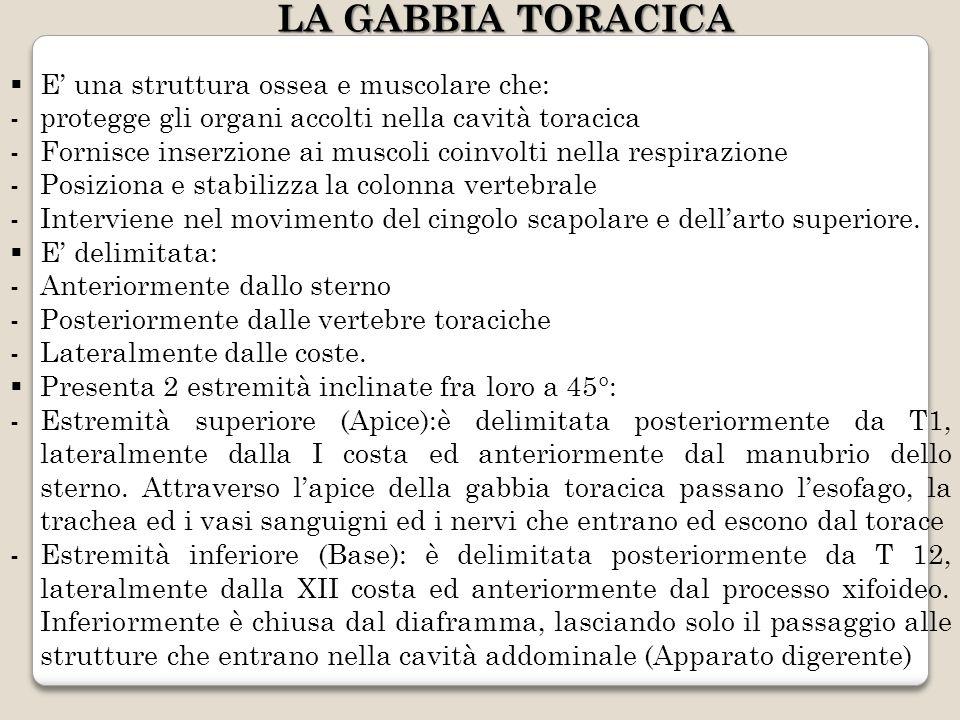 LA GABBIA TORACICA E una struttura ossea e muscolare che: -protegge gli organi accolti nella cavità toracica -Fornisce inserzione ai muscoli coinvolti
