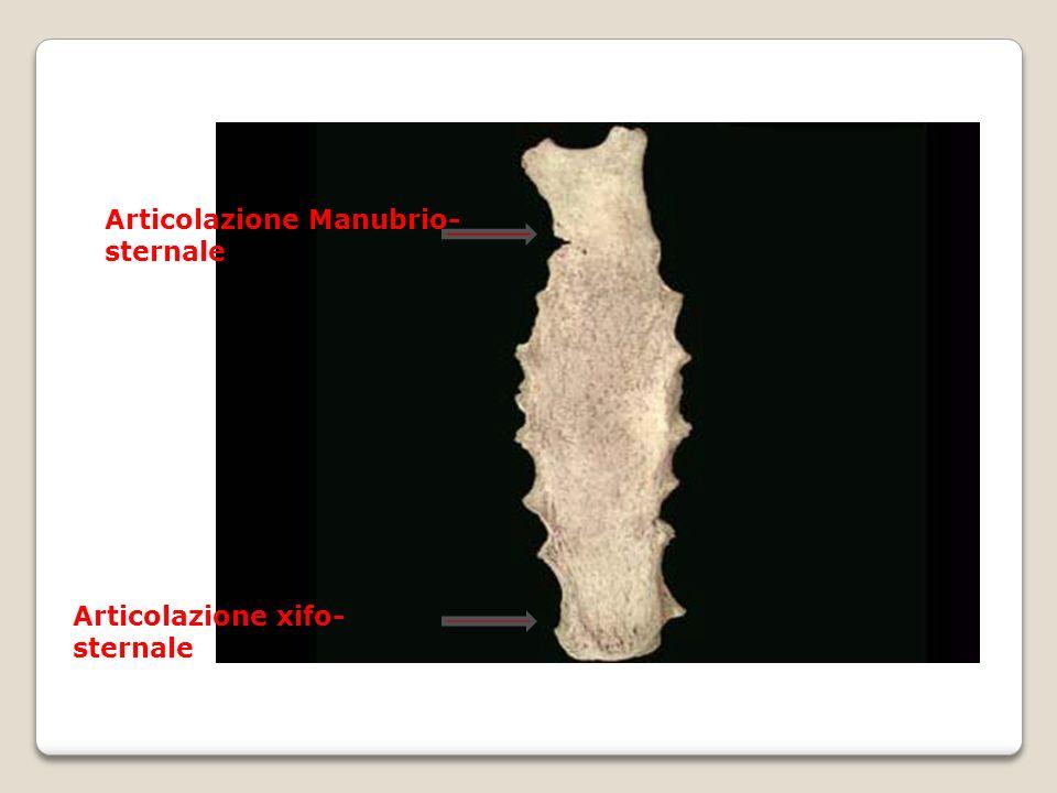 Articolazione Manubrio- sternale Articolazione xifo- sternale