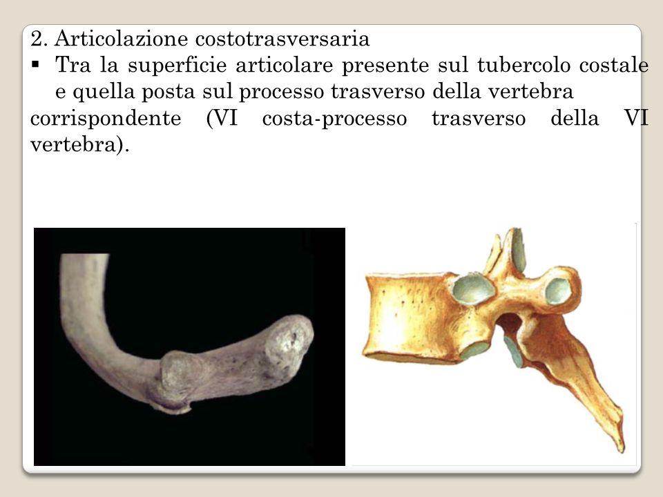 2. Articolazione costotrasversaria Tra la superficie articolare presente sul tubercolo costale e quella posta sul processo trasverso della vertebra co