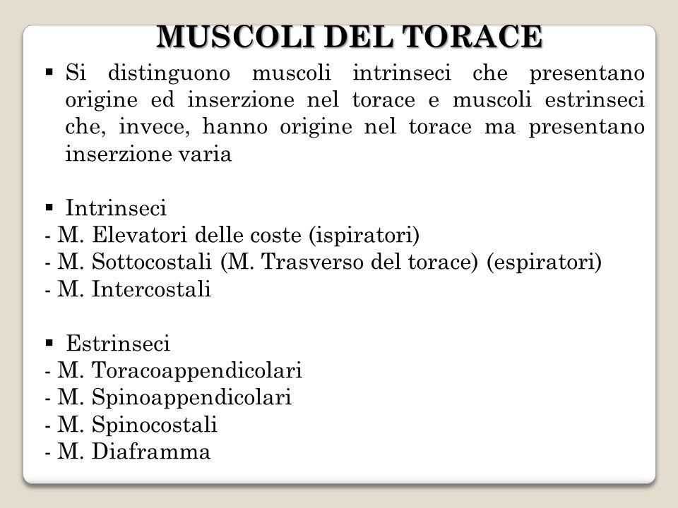 Si distinguono muscoli intrinseci che presentano origine ed inserzione nel torace e muscoli estrinseci che, invece, hanno origine nel torace ma presen