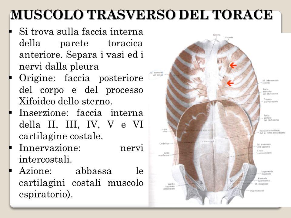 Si trova sulla faccia interna della parete toracica anteriore. Separa i vasi ed i nervi dalla pleura Origine: faccia posteriore del corpo e del proces