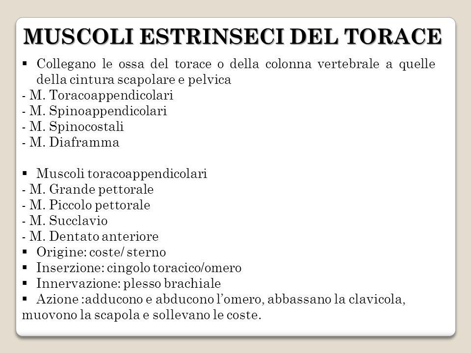 Collegano le ossa del torace o della colonna vertebrale a quelle della cintura scapolare e pelvica - M. Toracoappendicolari - M. Spinoappendicolari -