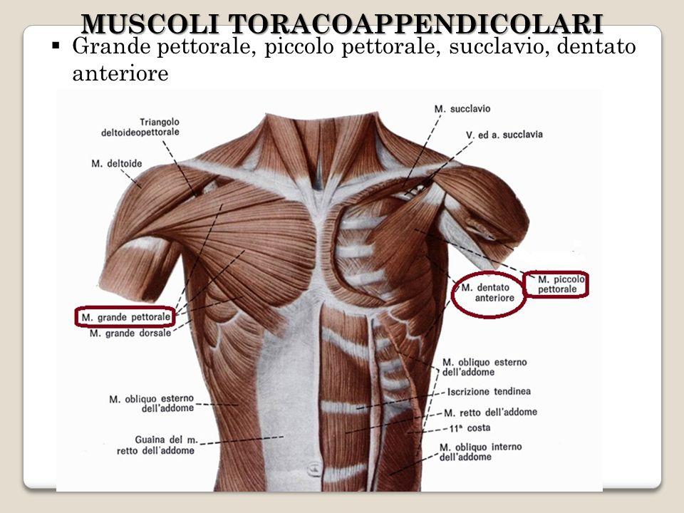 Grande pettorale, piccolo pettorale, succlavio, dentato anteriore MUSCOLI TORACOAPPENDICOLARI