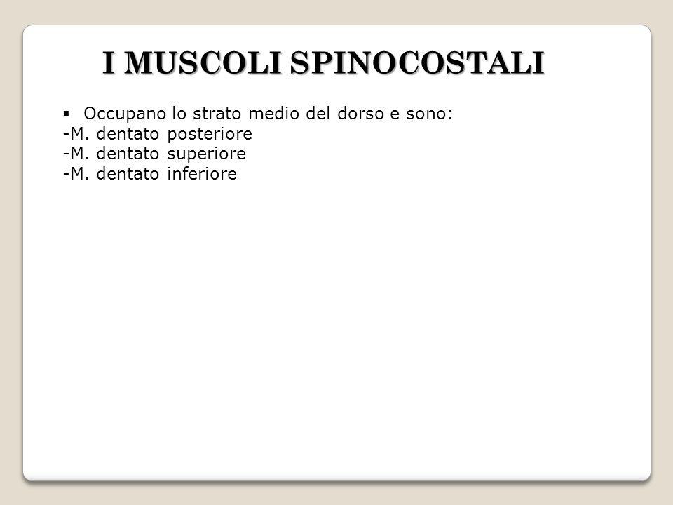 I MUSCOLI SPINOCOSTALI Occupano lo strato medio del dorso e sono: -M. dentato posteriore -M. dentato superiore -M. dentato inferiore