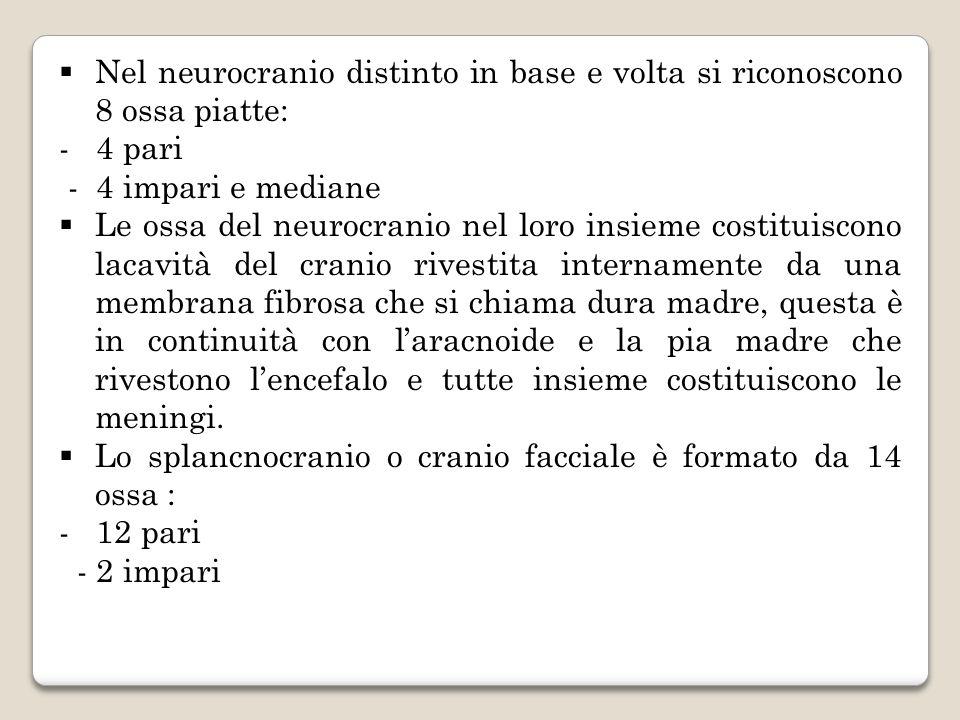 IL NEUROCRANIO Nel neurocranio distinto in base e volta si riconoscono 8 ossa piatte: - 4 pari - 4 impari e mediane Ossa impari - Frontale - Occipitale - Sfenoide - Etmoide Ossa pari - Parietali - Temporali