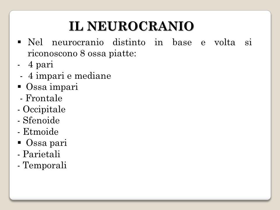 IL NEUROCRANIO Nel neurocranio distinto in base e volta si riconoscono 8 ossa piatte: - 4 pari - 4 impari e mediane Ossa impari - Frontale - Occipital