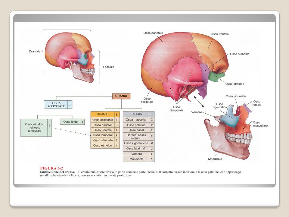 Le ossa del cranio si articolano tramite suture; in particolare si riconoscono: -La sutura sagittale, posta sul piano sagittale che separa le due ossa parietali destra e sinistra -La sutura coronale, posta sul piano coronale o frontale che separa losso frontale dalle due ossa parietali -La sutura lamboidea che separa losso occipitale dalle due ossa parietali -Le suture squamose che separano le ossa parietali e temporali dello stesso lato -La sutura frontonasale che separa losso frontale dalle due ossa nasali.
