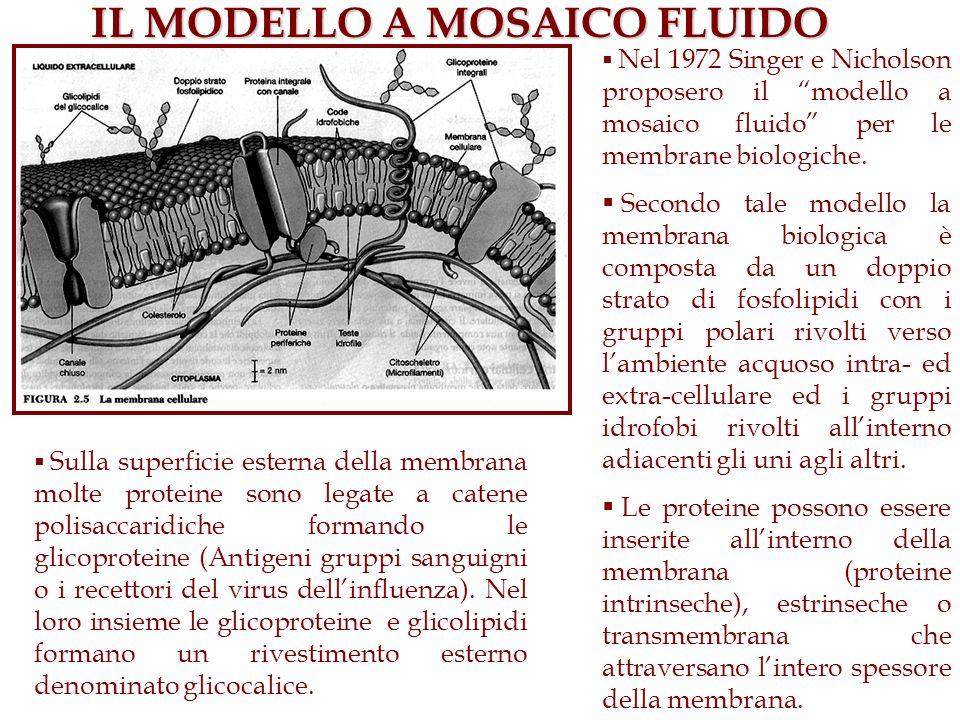 IL MODELLO A MOSAICO FLUIDO Nel 1972 Singer e Nicholson proposero il modello a mosaico fluido per le membrane biologiche. Secondo tale modello la memb
