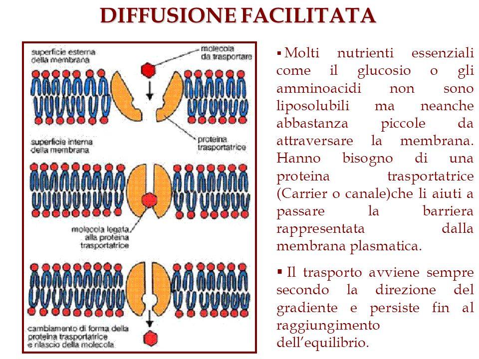 DIFFUSIONE FACILITATA Molti nutrienti essenziali come il glucosio o gli amminoacidi non sono liposolubili ma neanche abbastanza piccole da attraversar