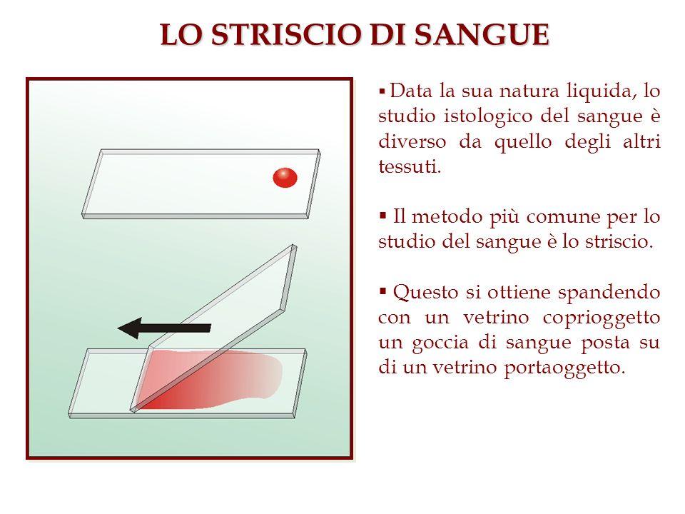 LO STRISCIO DI SANGUE Data la sua natura liquida, lo studio istologico del sangue è diverso da quello degli altri tessuti. Il metodo più comune per lo