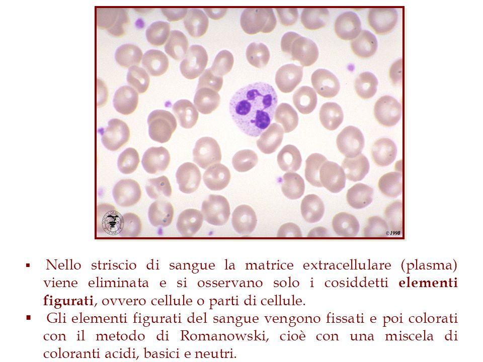 Nello striscio di sangue la matrice extracellulare (plasma) viene eliminata e si osservano solo i cosiddetti elementi figurati, ovvero cellule o parti