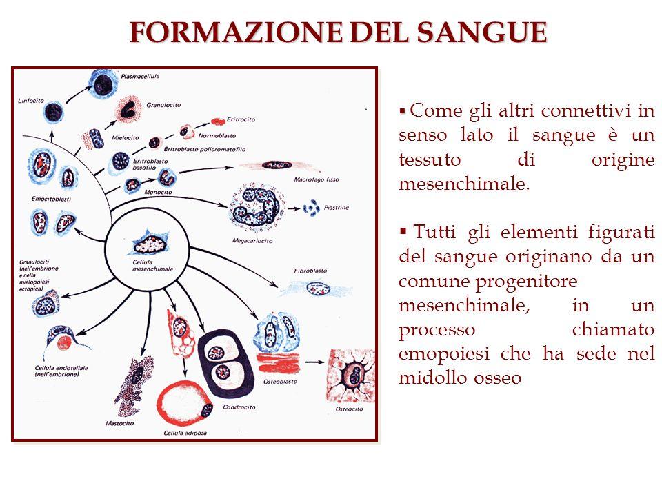 FORMAZIONE DEL SANGUE Come gli altri connettivi in senso lato il sangue è un tessuto di origine mesenchimale. Tutti gli elementi figurati del sangue o