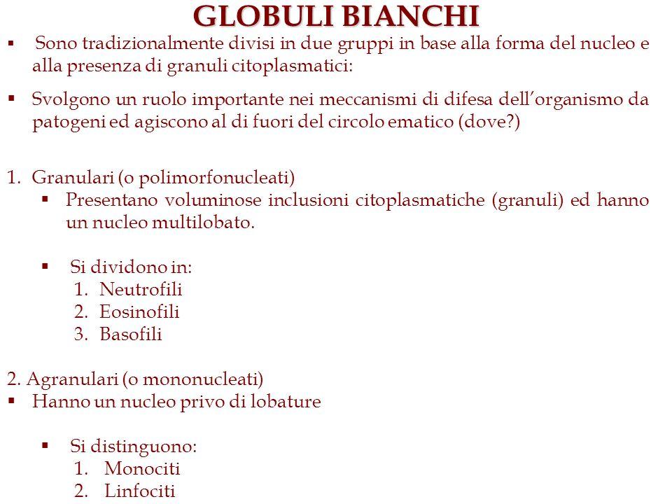 GLOBULI BIANCHI Sono tradizionalmente divisi in due gruppi in base alla forma del nucleo e alla presenza di granuli citoplasmatici: Svolgono un ruolo
