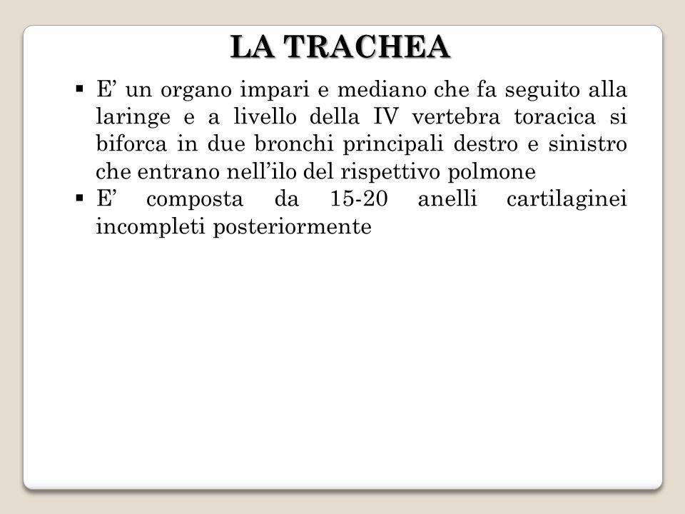 LA TRACHEA E un organo impari e mediano che fa seguito alla laringe e a livello della IV vertebra toracica si biforca in due bronchi principali destro