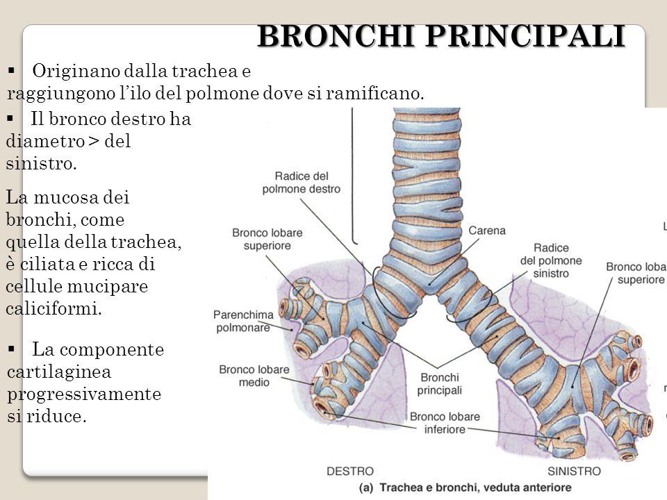BRONCHI PRINCIPALI Originano dalla trachea e raggiungono lilo del polmone dove si ramificano. La componente cartilaginea progressivamente si riduce. L