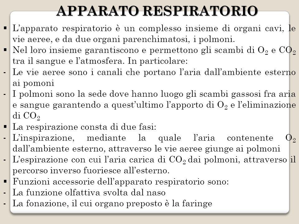 APPARATO RESPIRATORIO Lapparato respiratorio è un complesso insieme di organi cavi, le vie aeree, e da due organi parenchimatosi, i polmoni. Nel loro