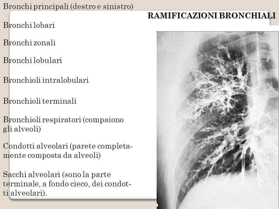 RAMIFICAZIONI BRONCHIALI Bronchi principali (destro e sinistro) Bronchi lobari Bronchi zonali Bronchi lobulari Bronchioli intralobulari Bronchioli ter