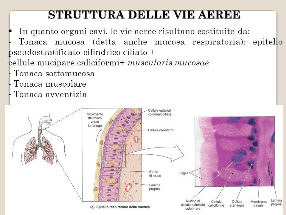 MUCOSA RESPIRATORIA Costituisce parte della tonaca mucosa delle vie aeree E costituito da un epitelio pseudopluristratificato ciliato con numerose cellule mucipare caliciformi, la forma più semplice di ghiandola esocrina perché unicellulare Ha la funzione di trattenere ed eliminare il pulviscolo atmosferico grazie alla secrezione di muco da parte delle cellule mucipare e allazione delle ciglia che spingono il muco verso la faringe.
