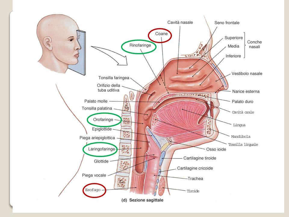 LA LARINGE E un organo impari e mediano, posto nel collo davanti al segmento inferiore della faringe ed interposta tra faringe e trachea.