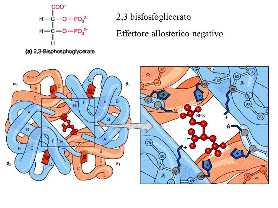 2,3 bisfosfoglicerato Effettore allosterico negativo