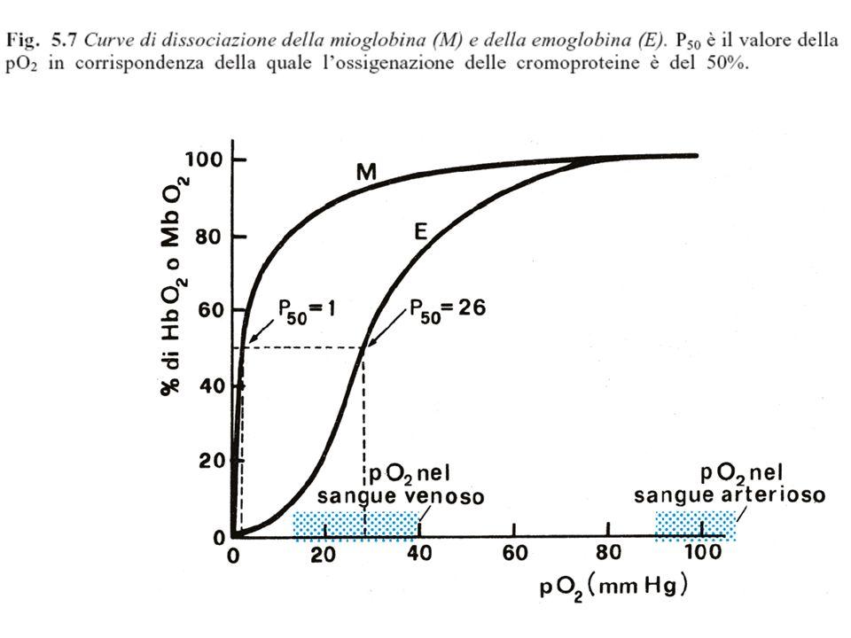 La Val6 mutante nella catena beta2 di una molecola di deossiemoglobina S si lega ad una tasca idrofobica sulla subunità beta1 di una molecola vicina Formazione della fibra di deossiemoglobina S