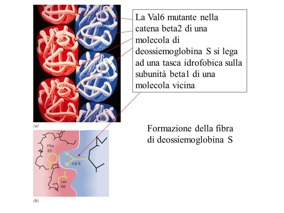 La Val6 mutante nella catena beta2 di una molecola di deossiemoglobina S si lega ad una tasca idrofobica sulla subunità beta1 di una molecola vicina F