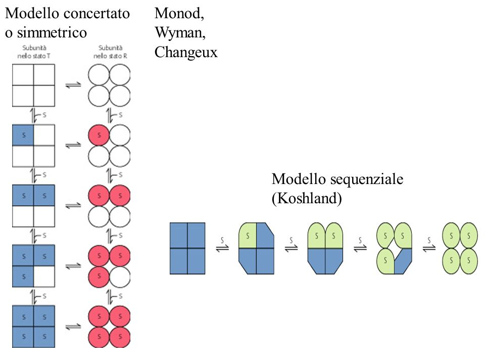 Modello concertato o simmetrico Modello sequenziale (Koshland) Monod, Wyman, Changeux