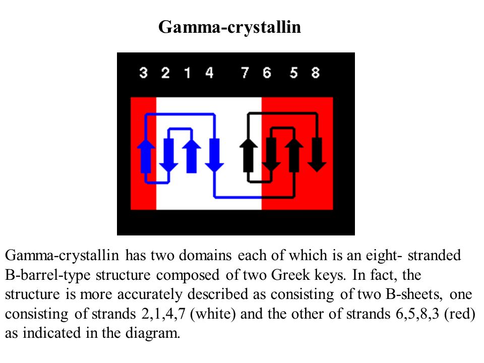Gamma-crystallin has two domains each of which is an eight- stranded -barrel-type structure composed of two Greek keys. In fact, the structure is more