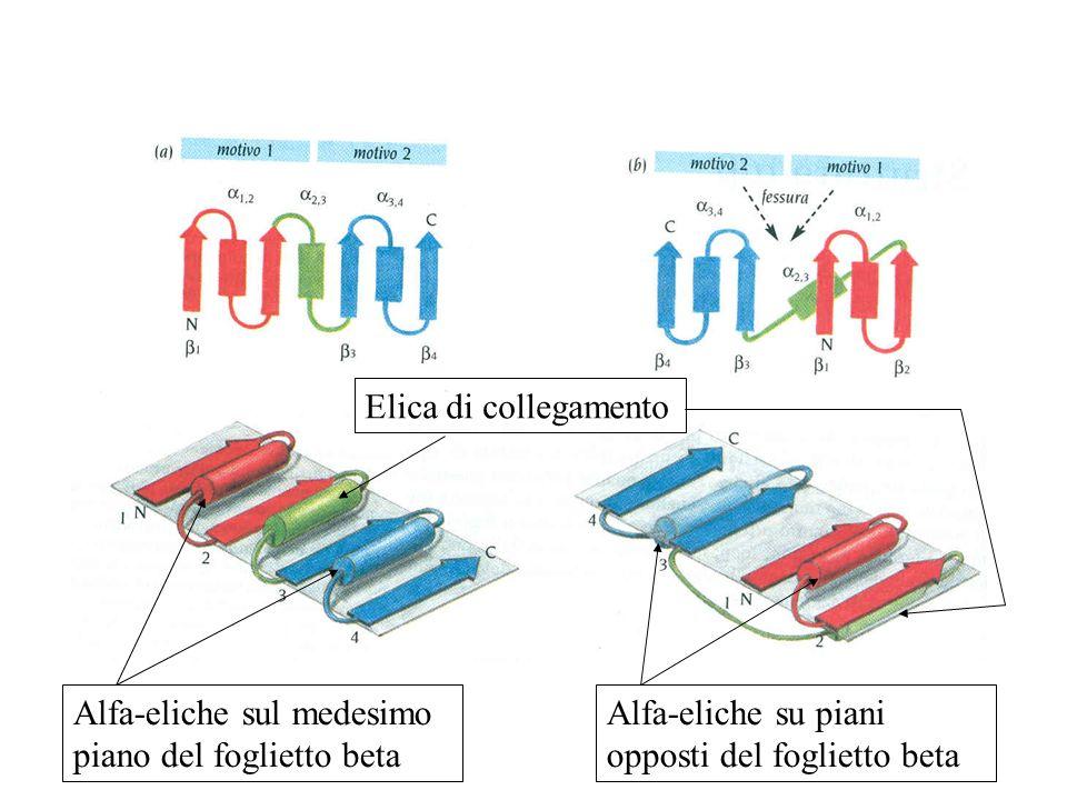 Alfa-eliche sul medesimo piano del foglietto beta Alfa-eliche su piani opposti del foglietto beta Elica di collegamento