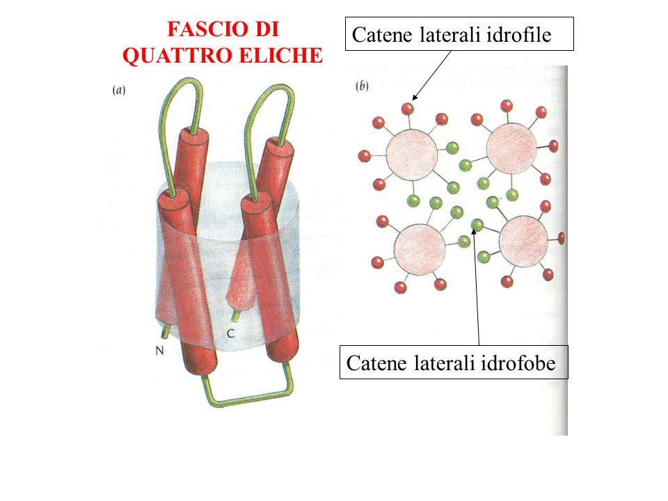 Catene laterali idrofobe Catene laterali idrofile FASCIO DI QUATTRO ELICHE
