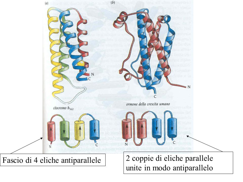 Fascio di 4 eliche antiparallele 2 coppie di eliche parallele unite in modo antiparallelo