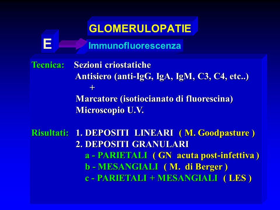 Immunofluorescenza E Tecnica: Sezioni criostatiche Antisiero (anti-IgG, IgA, IgM, C3, C4, etc..) Antisiero (anti-IgG, IgA, IgM, C3, C4, etc..) + Marca