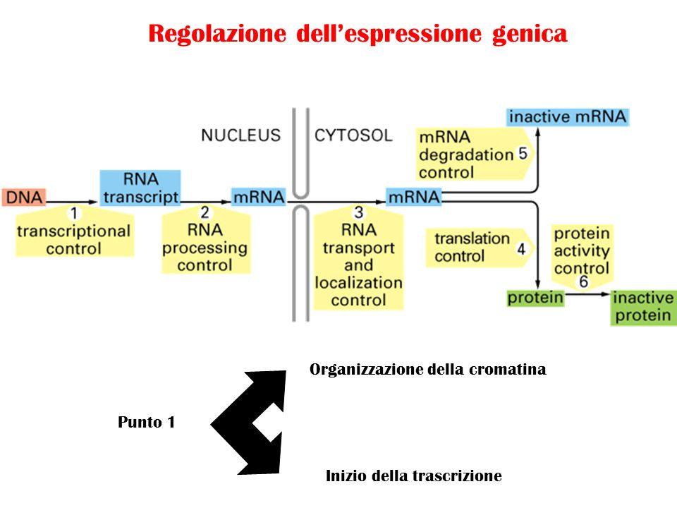Punto 1 Organizzazione della cromatina Inizio della trascrizione Regolazione dellespressione genica